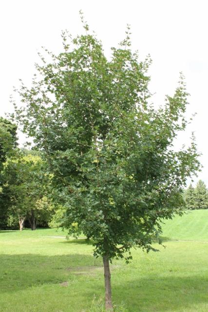 Acer Campestre Field Maple Mount Royal Seeds